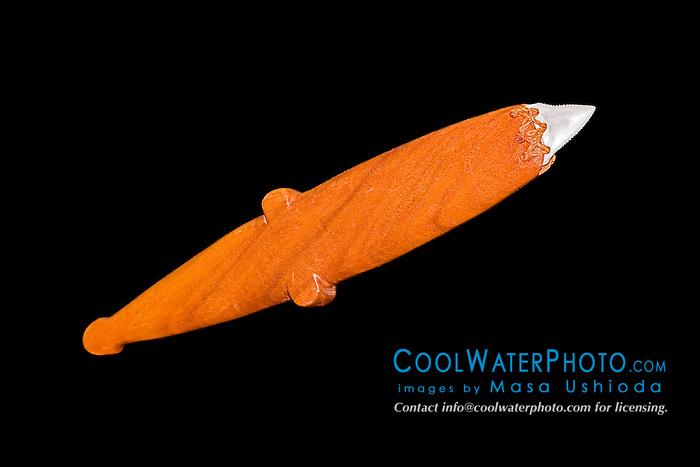 historic Hawaiian shark teeth weapon or tool - wooden-handle knife made with great white shark teeth, Carcharodon carcharias, and traditional, endemic koa wood, Acacia koa, Hawaii