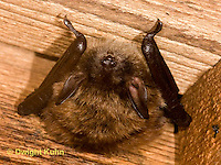 MA20-583z  Little Brown Bats, Myotis lucifugus