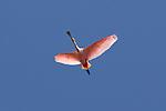 BIRDS OF BRAZIL - PANTANAL