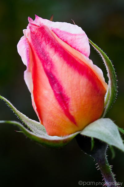 Pink and red rose bud