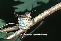 01162-01619 Ruby-throated Hummingbird (Archilochus colubris) female on nest Marion Co. IL