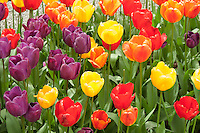 Roozengaarde Gardens have many varieties of tulips in their display garden at Mount Vernon , Washington. They are the major tulip bulb grower in Washington State.