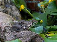 0714-07pp  Green frog - Lithobates clamitans, formerly Rana clamitans  © David Kuhn/Dwight Kuhn Photography