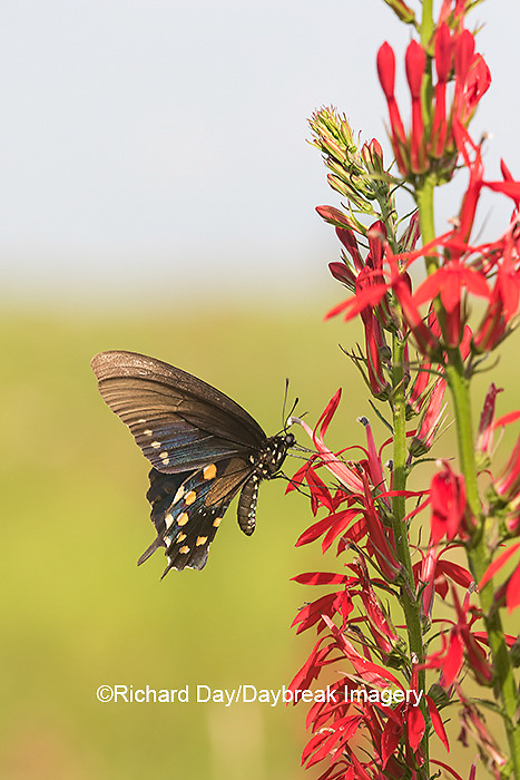 03004-01512 Pipevine Swallowtail (Battus philenor) on Cardinal Flower (Lobelia cardinalis) Marion Co. IL