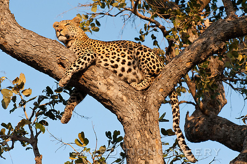 Leopard at sunset, watching for distant prey, Botswana (could pass for Okavango Delta).