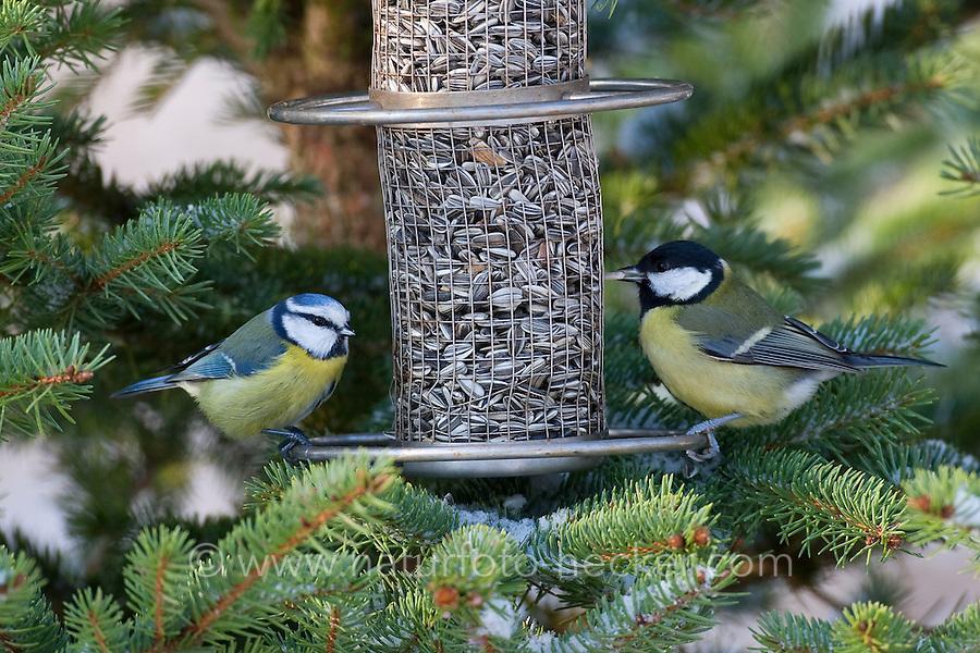 Kohlmeise und Blaumeise an der Vogelfütterung, Fütterung im Winter bei Schnee, mit Körnern gefüllten Futtersilo, Winterfütterung, Kohl-Meise, Meise, Parus major, great tit, Blau-Meise, Cyanistes caeruleus, Parus caeruleus, blue tit