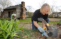 NWA Democrat-Gazette/DAVID GOTTSCHALK  Janice Torbett, a master gardener of Washington County, pulls Star-of-Bethlehem Wednesday, March 23, 2016, on the grounds of the Shiloh Museum of Ozark History in Springdale. The gardeners are removing the invasive plant and planting plant species that will attract butterflies.