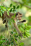 A four year old Toque Macaque feeds on fruits from a ficus retusa tree. Archaeological reserve, Polonnaruwa, Sri Lanka. IUCN Red List Classification: Endangered
