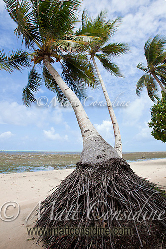 Coconut Palm, Yap Micronesia (Photo by Matt Considine - Images of Asia Collection) (Matt Considine)