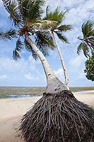 Coconut Palm, Yap Micronesia (Photo by Matt Considine - Images of Asia Collection)