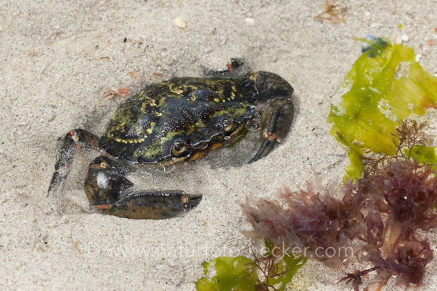 Strandkrabbe, Strand-Krabbe, Dwarslöper, gräbt sich im Sand ein, Krabbe, Krebs, Gemeine Strandkrabbe, Carcinus maenas, shore crab, shore-crab, harbour crab, shorecrab, European green crab, European shore crab, green crab, crab