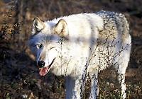 Winking Wolf   #Z10