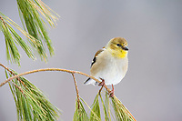 American goldfinch, Spinus tristis, perched on twig in winter, Nova Scotia, Canada