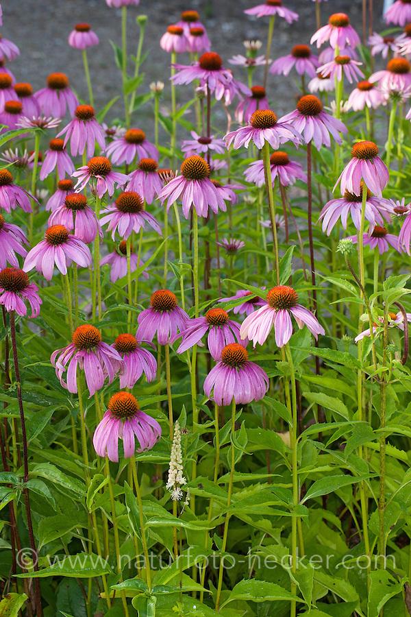 Roter Sonnenhut, Purpur-Sonnenhut, Scheinsonnenhut, Roter Purpursonnenhut, Purpursonnenhut, Schein-Sonnenhut, Igelkopf, Echinacea purpurea, Rudbeckia purpurea, Brauneria purpurea, Purple Cone Flower, Cone-Flower, Eastern purple-coneflower, Purple-coneflower, coneflower