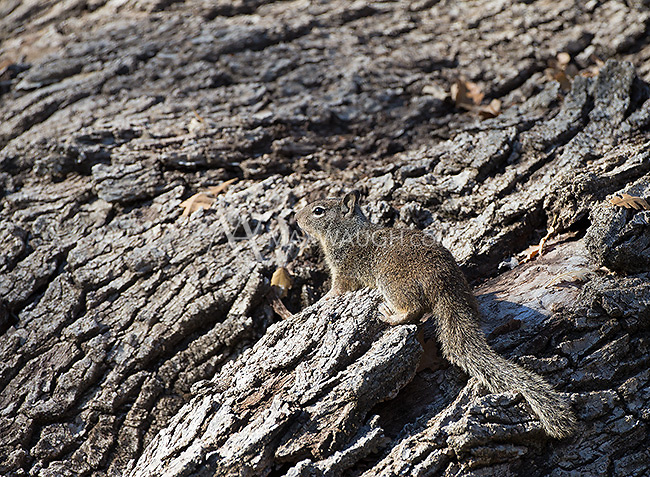 California ground squirrels are the main prey of the bobcat and a big reason the cats are so prevalent in this area.