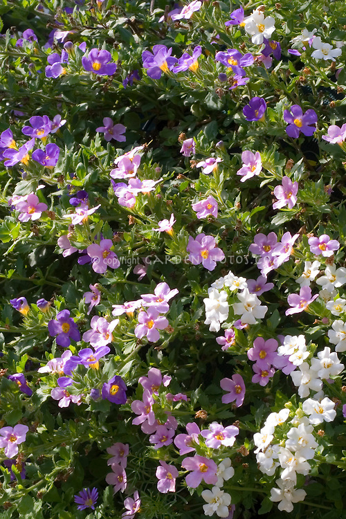Bacopa Scopia Great mix, pink, white, purple colors annual flowers