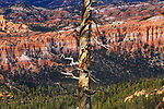 A dead tree at cliffs edge, Bryce Canyon in late afternoon light, Bryce Canyon National Park, Utah, USA