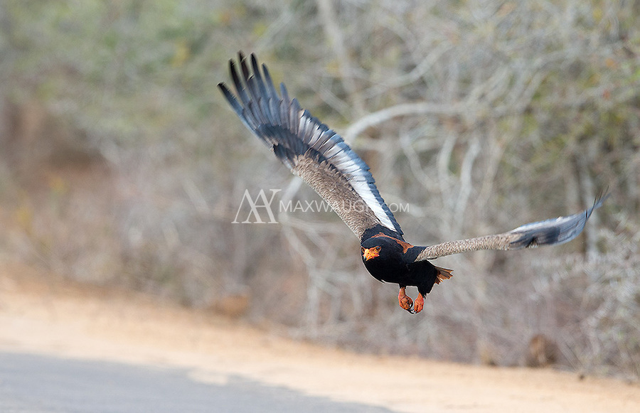 A Bateleur takes off after investigating a potential meal near the road in Kruger.