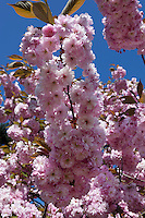 United Kingdom, England, Greater London, Kew: district in the London Borough of Richmond upon Thames - Spring cherry blossom at Royal Botanic Gardens, UNESCO World Heritage Site | Grossbritannien, England, Kew: Stadtteil Londons im Stadtbezirk London Borough of Richmond upon Thames - Kirschbluete im Royal Botanic Gardens, inzwischen UNESCO Weltkulturerbe