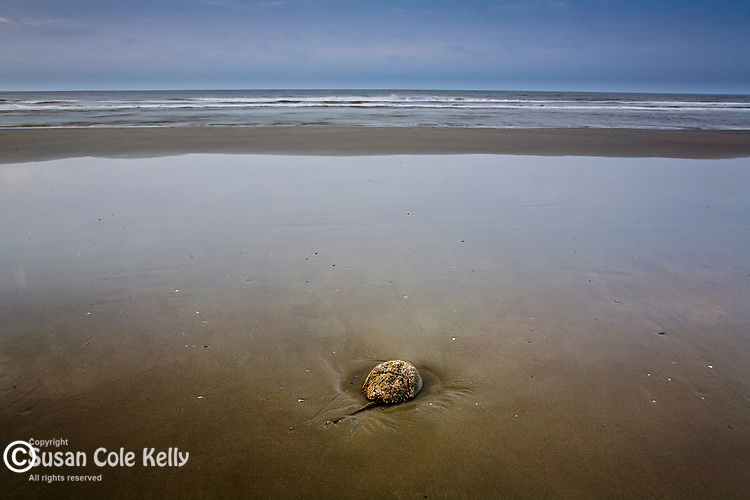 Horseshoe crab (Limulus polyphemus) on the Carolina Coast, Isle of Palms, SC, USA
