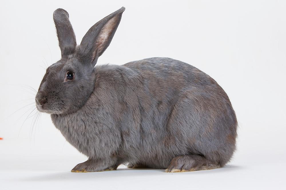 Beveren Bunny Beverly 8295 jpg | Barbara O'Brien Photo Farm