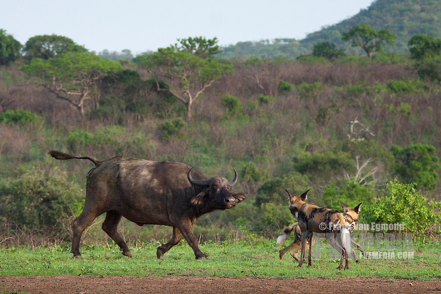 African Wild Dog (Lycaon pictus) interaction with Buffalo (Syncerus caffer).. .Hluhluwe Imfolozi Game Reserve..Kwazulu-Natal, South Africa..November 2010.