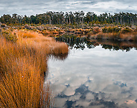 Sun sets over beautiful kahikatea grove in Five Mile Lagoon, Westland Tai Poutini National Park, UNESCO World Heritage Area, West Coast, New Zealand, NZ