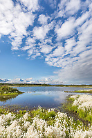 Alaska cotton grass around a tundra pond with Denali, North America's tallest mountain. Denali National Park
