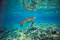 C444  Green Sea Turtle (Chelonia mydas) swimming in ocean.
