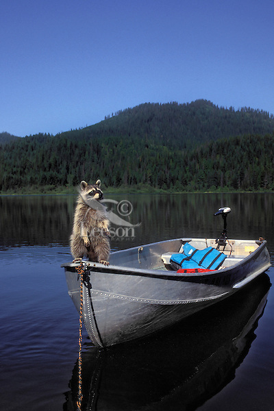 Raccoon on boat looking for food..Autumn. North America..(Procyon lotor).