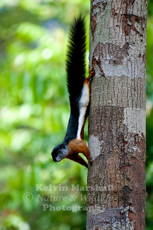 Prevost's squirrel (Callosciurus prevostii), or Asian tri-colored squirrel, is found in forest in and around Tanjung Puting National Parks, the most intrepid squirrels come to the orangutan feeding areas to get a free meal of bananas..