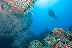 Gardens of the Queen, Cuba; a scuba diver hovers over a colony of black coral growing near the bottom of a large overhang