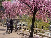 Kirschbl&uuml;te an der Kurpromenade in Meran-Merano, Bozen &ndash; S&uuml;dtirol, Italien<br /> cherry blossom at spa promenade, Meran-Merano, province Bozen-South Tyrol, Italy