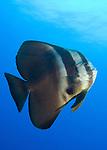 Longfin spadefish (Platax teira), full body view, Fathers reefs, Kimbe Bay