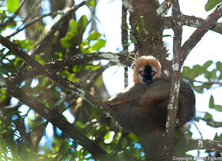 Red Fronted Brown Lemur, Eulemur rufus, Ranomafana National Park, Madagascar, listed on Appendix I of CITES, sitting in tree