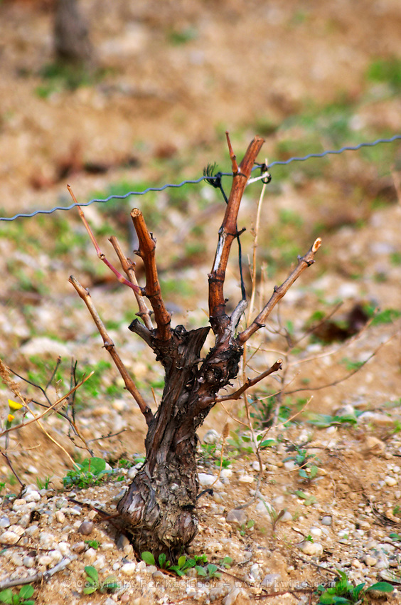 Domaine Jean Baptiste Senat. In Trausse. Minervois. Languedoc. Vines trained in Gobelet pruning. Old, gnarled and twisting vine. Vineyard in winter. Illuminated in early morning. A rainy and misty winter day. France. Europe. Vineyard.