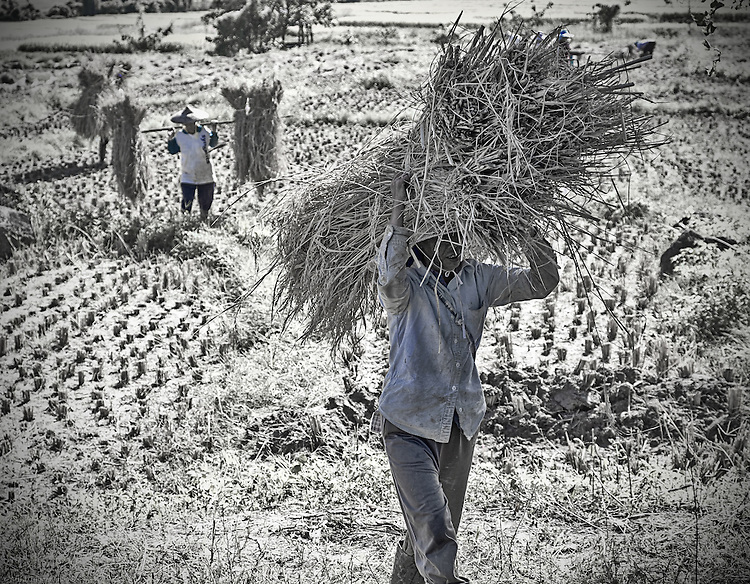 A man carries bundled straw on his back through a field, with other workers following behind.