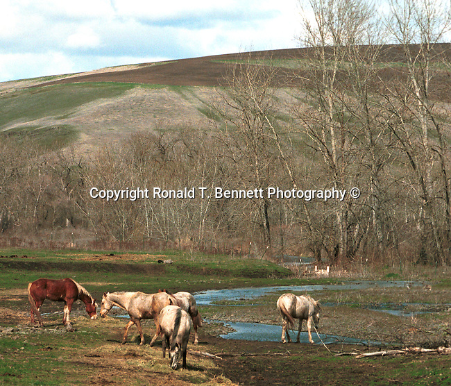 Horses graze, Curious colts, colts, wild horse, Horse, ponies, mares, stallion, saddle, Equus ferus caballus, domestic horse, yearling, colt, filly, gelding, pony, thoroughbred,Animal, wild animals, domestic animals,  Fine Art Photography, Ronald T. Bennett (c) Fine Art Photography by Ron Bennett, Fine Art, Fine Art photography, Art Photography, Copyright RonBennettPhotography.com ©