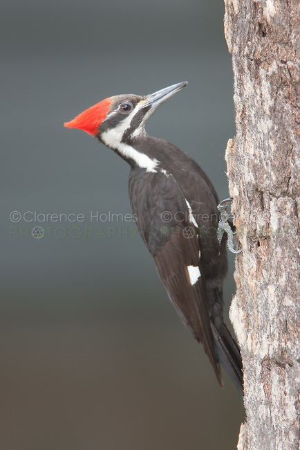 Pileated Woodpecker (Dryocupus pileatus) - Female, Fort Desoto Park, near St. Petersburg, Florida.