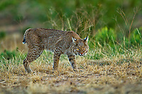 I love these eyes, they seem to pierce through you. Another image of the young Bobcat found in remote and rough country of Texas.