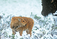 610658549 a wild bison calf bison bison stands knee deep in a snowdrift during a spring storm in yellowstone national park wyoming