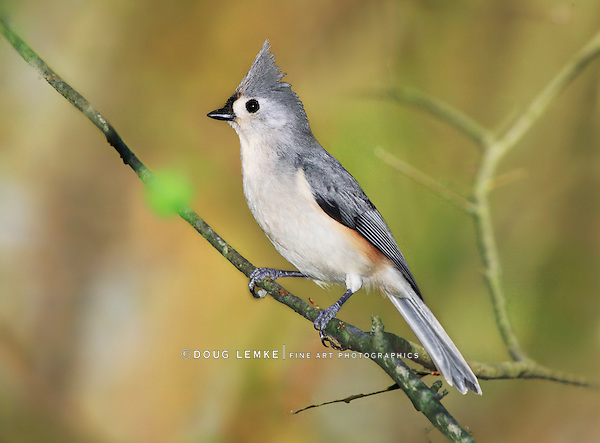 A Cute Little Bird, The Tufted Titmouse, Nicely Posing With It's Crest Raised As If For A Portrait, Parus bicolor