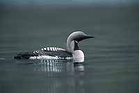 Black-throated Diver Gavia arctica L 60-70cm. Swims buoyantly with bill held level. Dives frequently. Sexes are similar. Adult in summer has blue-grey nape and head, and black throat; sides of neck have black and white lines. Back is dark with white spots; underparts are white. In winter, upperparts mainly grey-black and underparts whitish; note white patch on flanks at water level in swimming birds. Juvenile is similar to winter adult but grubby-looking. Voice Mostly silent. Status Rare breeding species on large Scottish lochs. Scarce in winter, mainly in coastal waters.