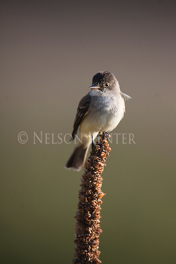 Flycatcher on a mullein stalk in western Montana