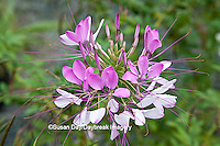 65821-00307 Pink Spider Flower (Cleome hasselerana) Montrose Gardens Hillsborough, NC