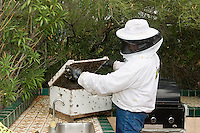 Africanized Honeybees (Apis mellifera), live removal of a bee colony near a house by a beekeeper for relocation to a safer area (Arizona)