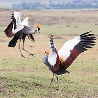 Dancing Crowned Cranes   Kenya 2015