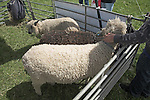 Suffolk Smallholders annual show, Stonham Barns, Suffolk, England, July 2008 Sheep in pens.