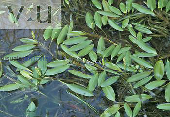 Floating Pondweed ,Potamogeton epihydrus,, North America.