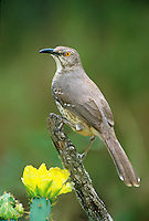 581990005 a wild curve-billed thrasher toxoxtoma curvirostrae perches on a dead mesquite branch with blooming opuntia cactus flowers in the rio grande valley of south texas